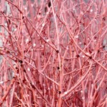 Pink birch twigs decorated with hearts