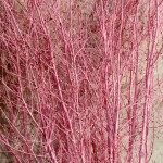 Pink birch