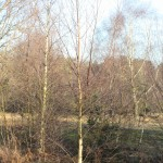Birch trees ready for harvesting